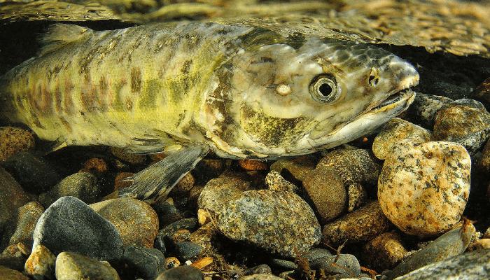 Spawning chum salmon underwater near rocks
