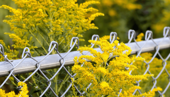 Yellow goldenrod around chainlink fence in backyard