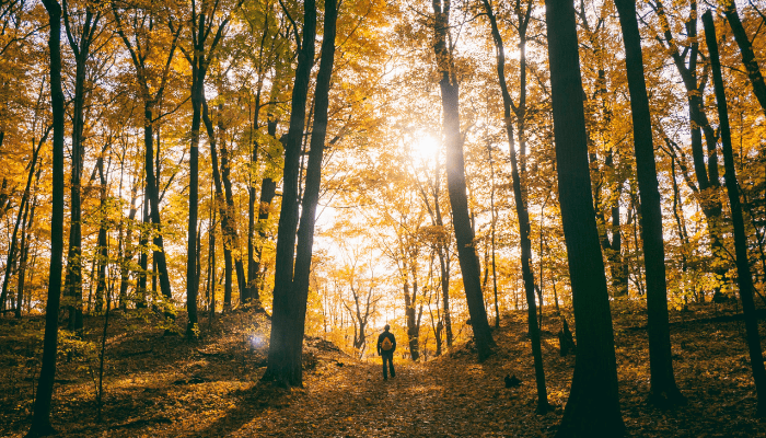 Person walking in forest with tall yellow trees