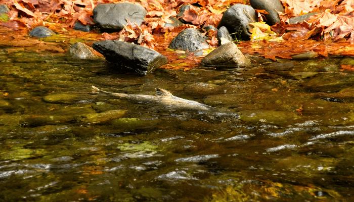 Salmon swimming upstream in rocky stream