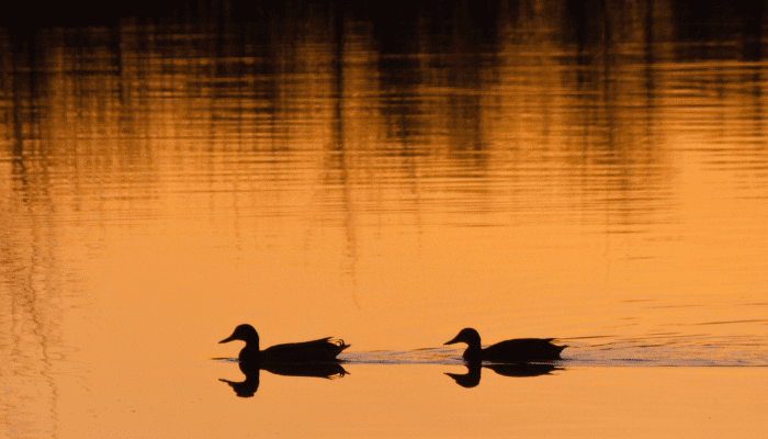 Waterfowl swimming through water at sunset