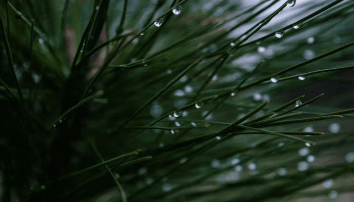 Close up of wet pine needles