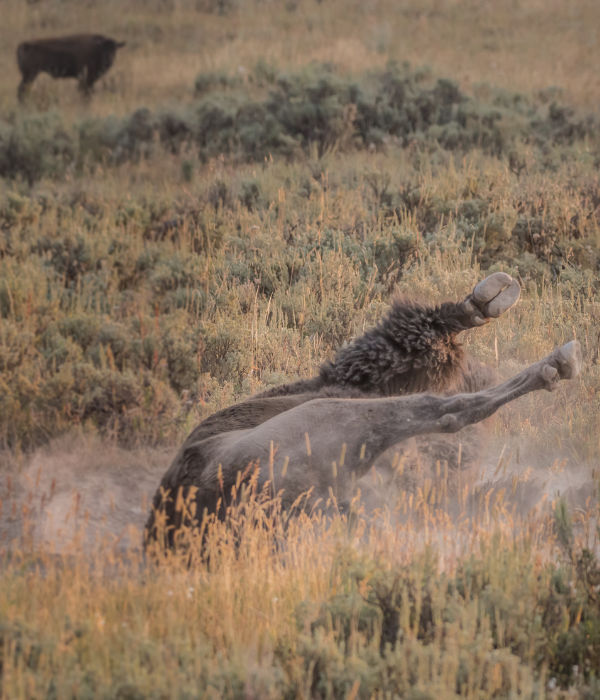 Bison wallowing on plain