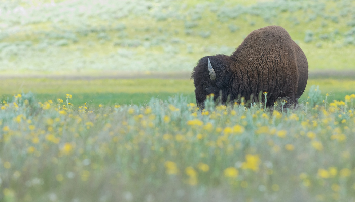 Bison with yellow flowers