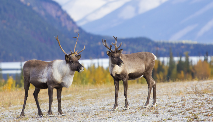 Two caribou standing near lake and mountains