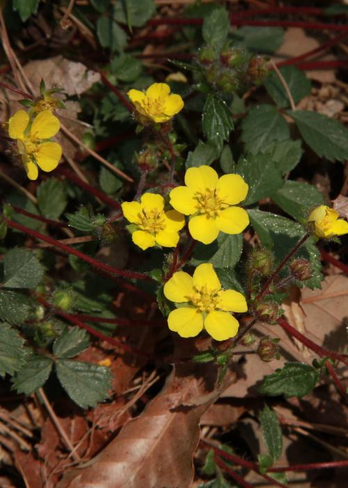 cinquefoil (potentilla) flowers