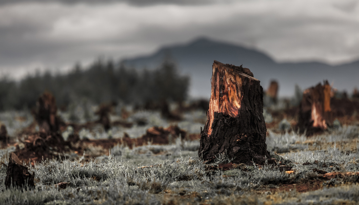 Logged tree stumps deforestation