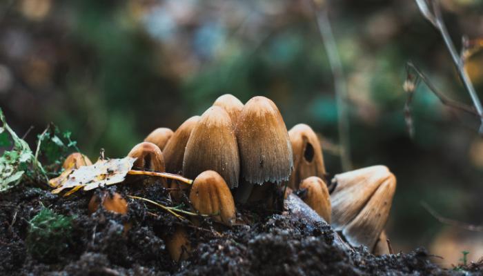 Mushrooms growing from soil