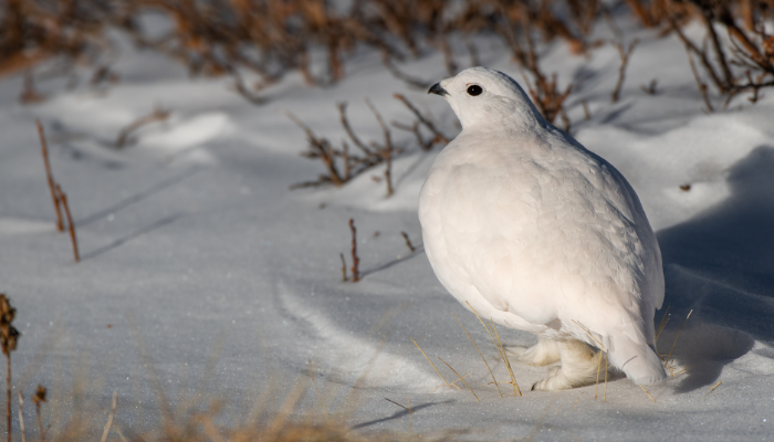 Ptarmigan walking in the snow