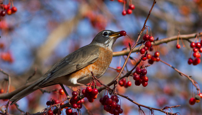 Robin sitting on branch eating red berries