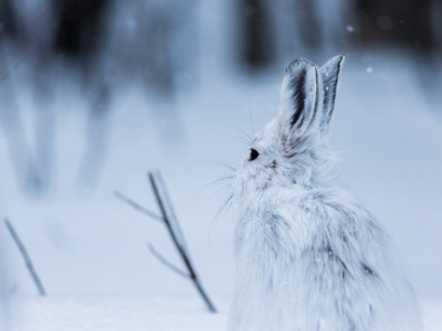 Snowshoe hare on snow