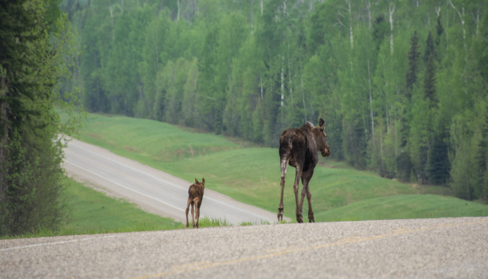 Moose and calf walking down road in forest