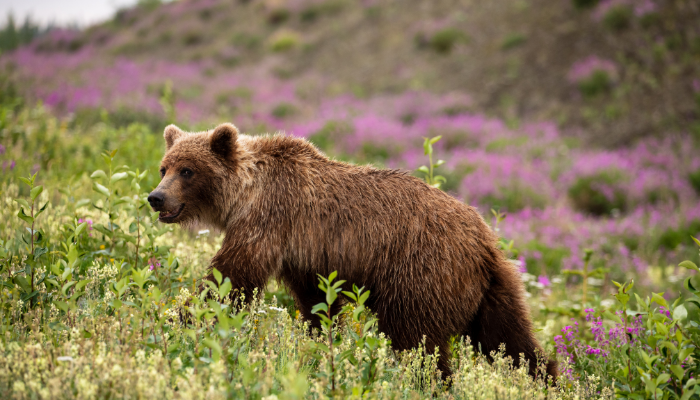 Bear climbing hill filled with wildflowers