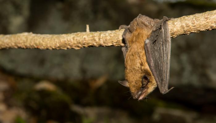 Big brown bat hanging from tree branch