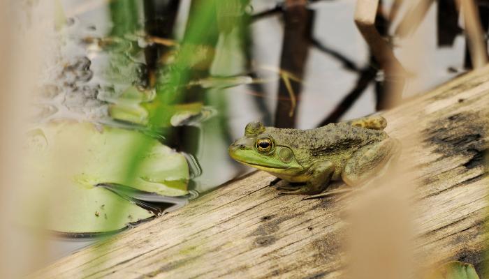 Frog on log in wetland