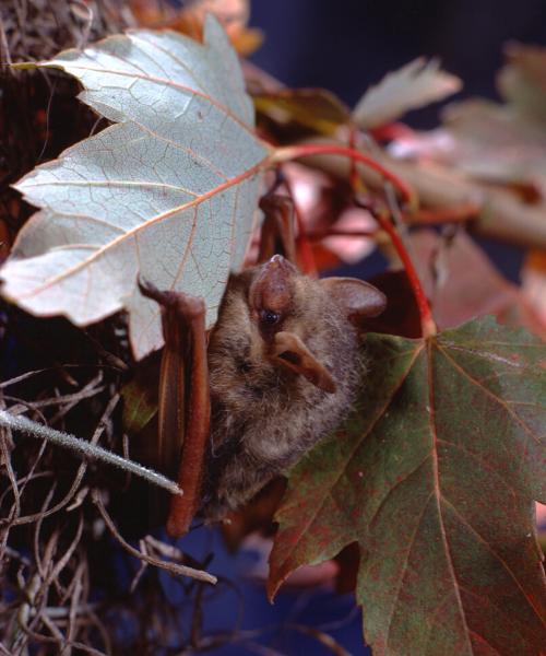 Little brown bat in leaves