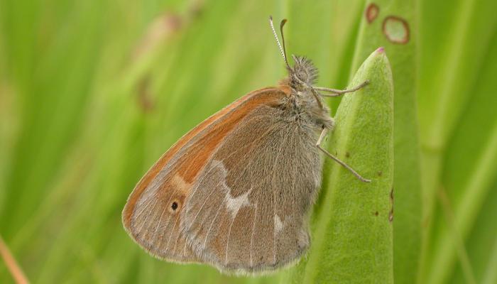 Maritime ringlet butterfly on grass