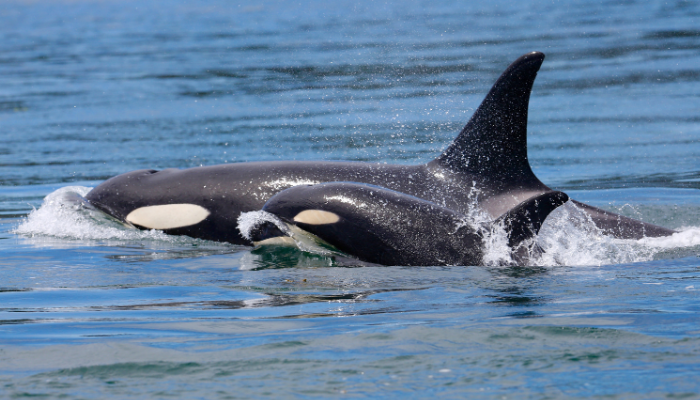 Mother and baby orca swimming in ocean