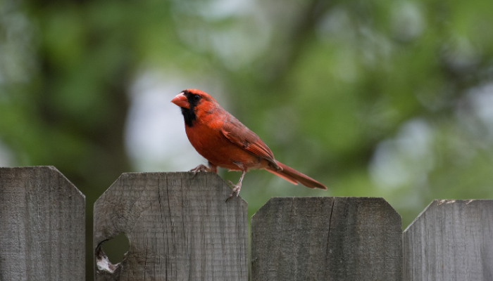 cardinal on fence in forest