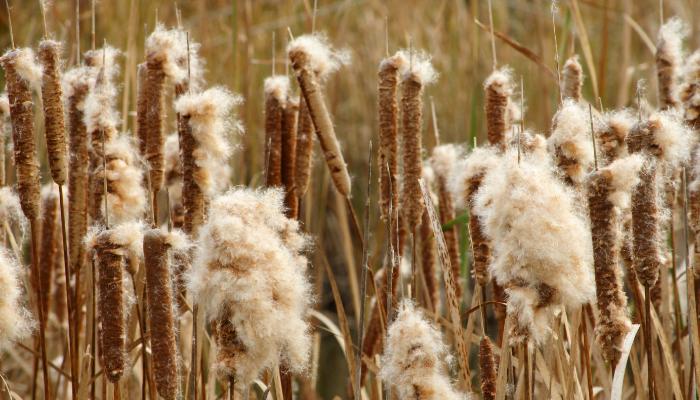 Cattail seeds in wetland