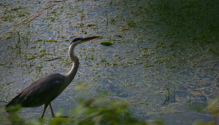 great blue heron in wetland