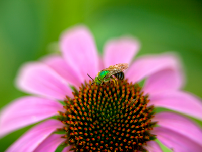 Sweat bee on pink flower