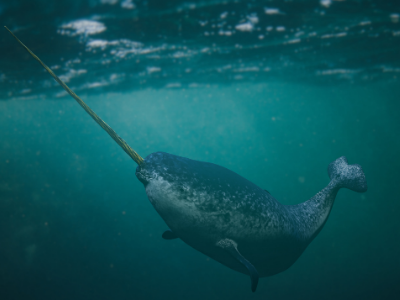 Narwhal swimming in ocean