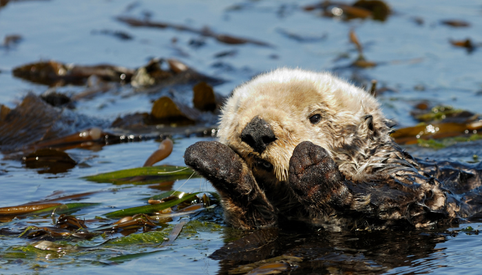 Sea otter in swimming in ocean with kelp