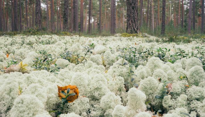 Star-tipped Reindeer lichen