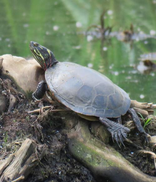 Midland Painted Turtle on stump in wetland