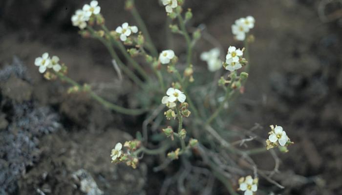hairy braya white flowers