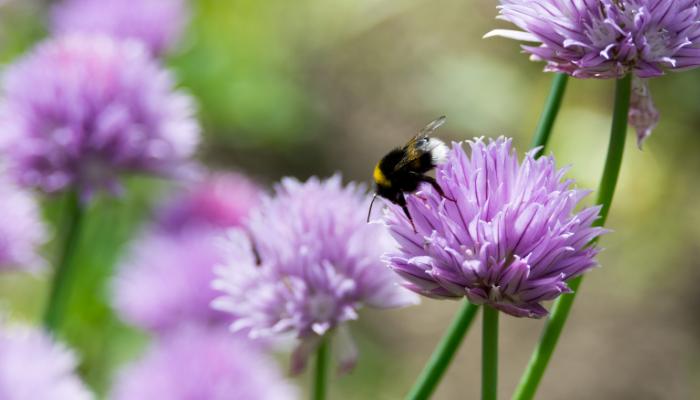 Bumblebee on purple chive flower head