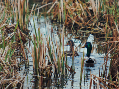 Mallard ducks swimming through marsh