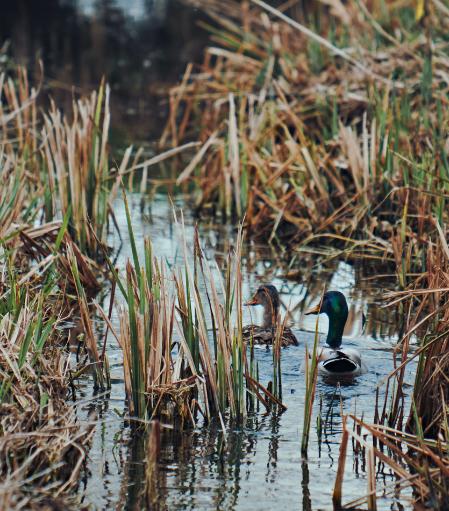 mallard ducks swimming through marsh