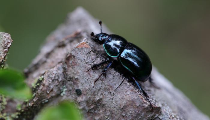 Dung beetle sitting on log