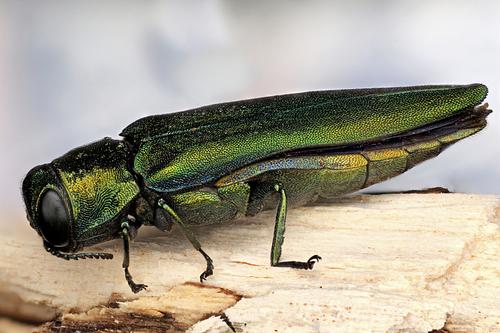 Emerald ash borer invasive species
