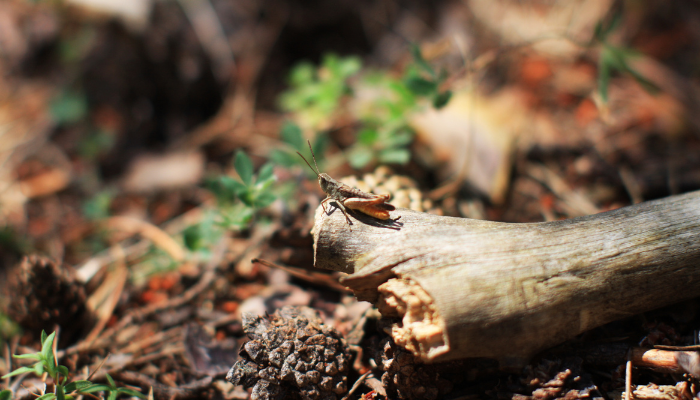 Grasshopper sitting on log in forest