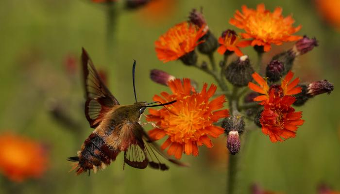 Hummingbird moth pollinating orange flower