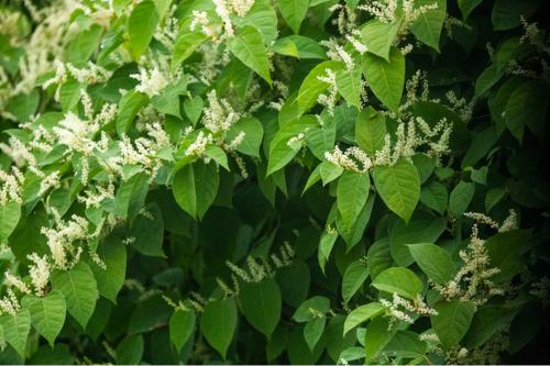 Japanese knotweed invasive species