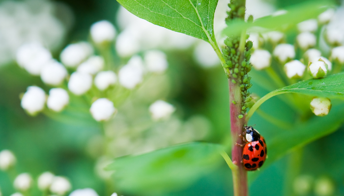 Lady bug climbing on branch with aphids