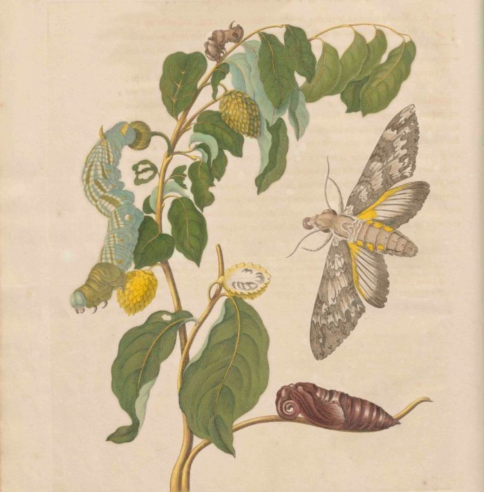 Maria Sibylla Merian, page from Metamorphosis-insectorum Surinamensium, 1705, Public domain, via Wikimedia Commons