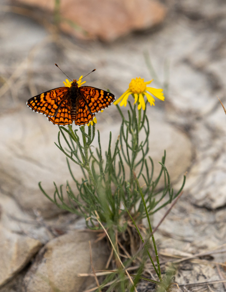 Northern checkerspot butterfly on yellow flower