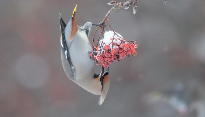 Bohemian Waxing Bird on bard eating berries