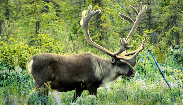 Caribou in green forest