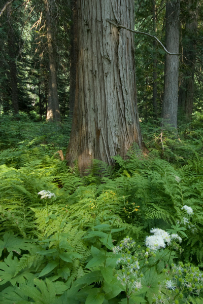 Cedar trees in forest surrounded by green plants and white flowers