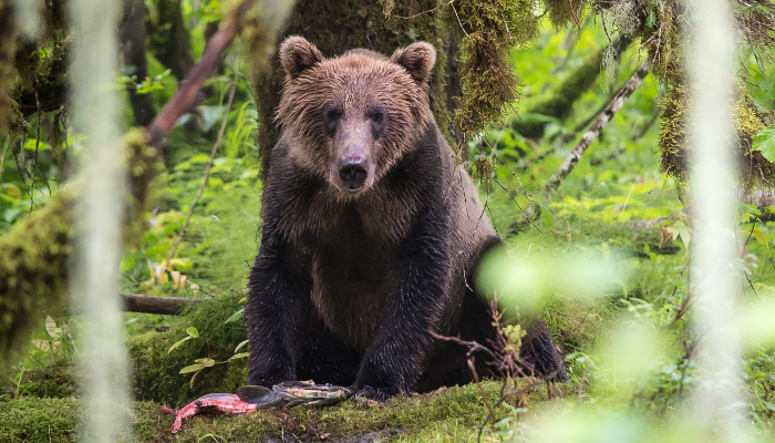 Grizzly bear eating salmon in forest