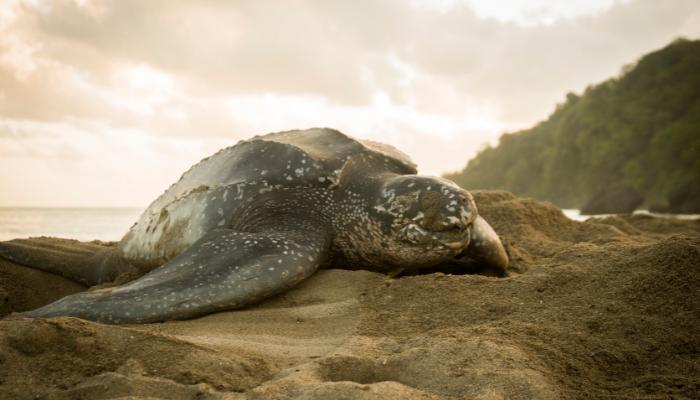 Leatherback sea turtle lying on sand near near ocean