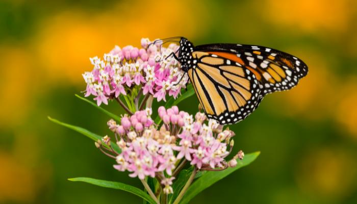 Monarch butterfly on pink milkweed
