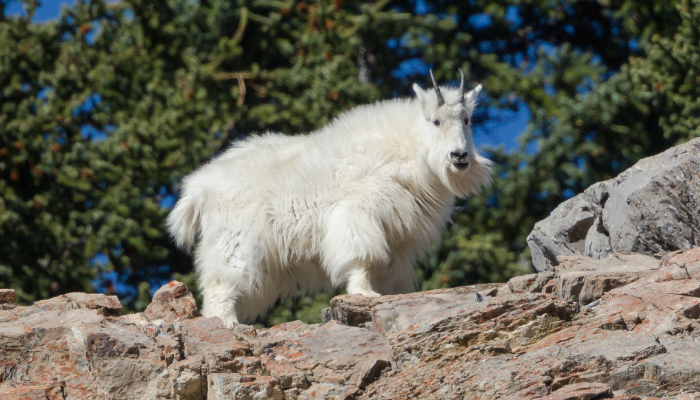 Mountain Goat on cliff band