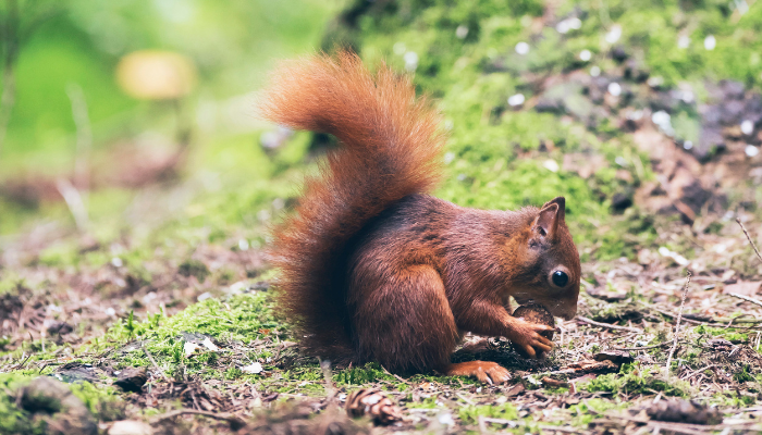 Red squirrel eating nut near tree